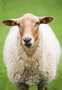 locally farmed sheep picture